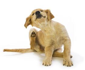 itchy-dog-scratching-CharlesMann-E-getty-171154485-56a26b033df78cf77275656b