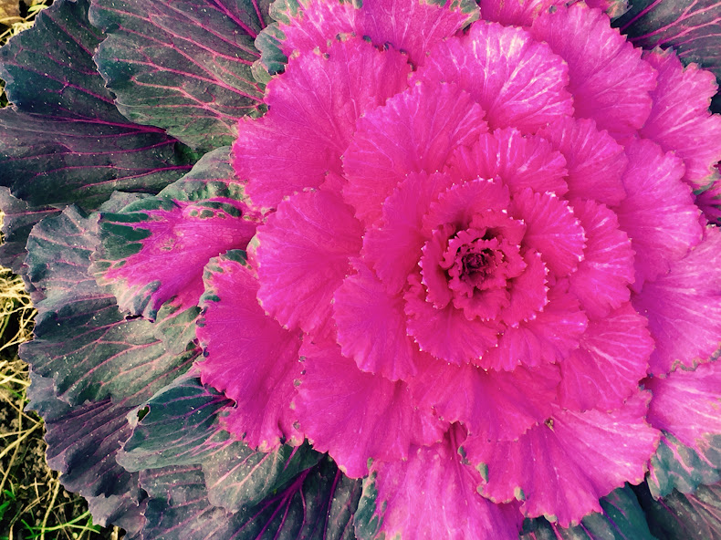 Ornamental Cabbage -- looks Christmassy, doesn't it?