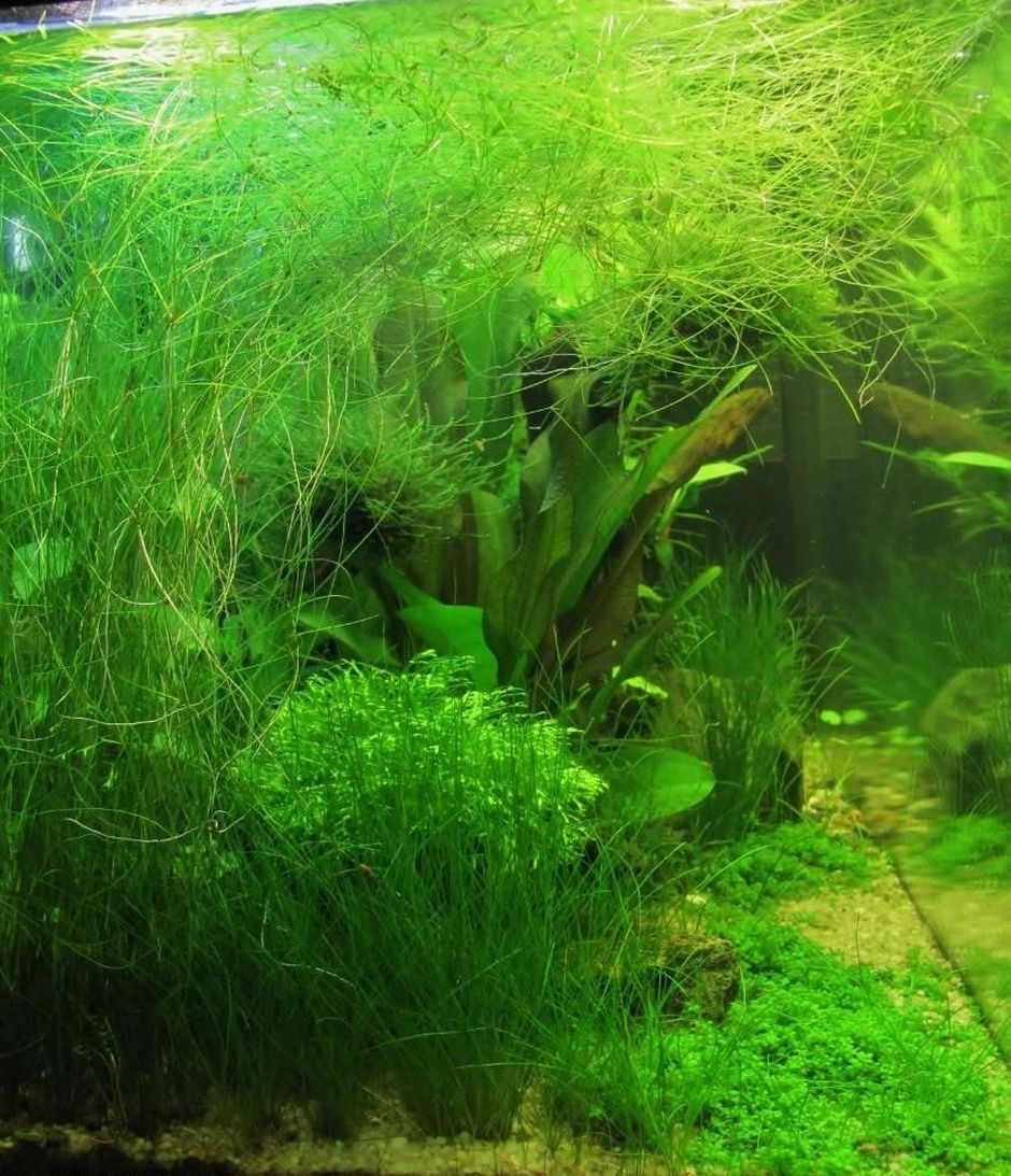 Элеохарис израстающий (Ситняг живородящий) (Eleocharis vivipara)