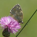 Melanargia galathea (L., 1758), femelle, f. leucomelas. Les Hautes-Courennes (550 m), Saint-Martin-de-Castillon (Vaucluse), 21 juin 2015. Photo : J.-M. Gayman