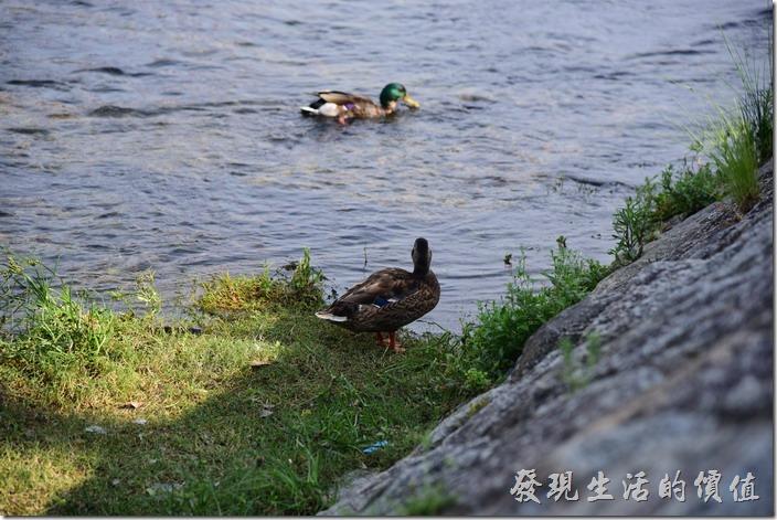 鴨川上的野鴨。