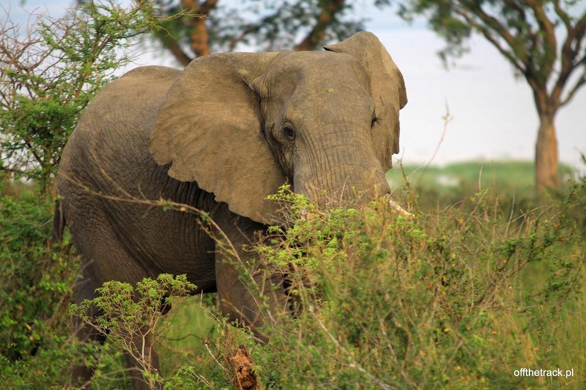 Słoń, park narodowy Murchison Falls, Uganda