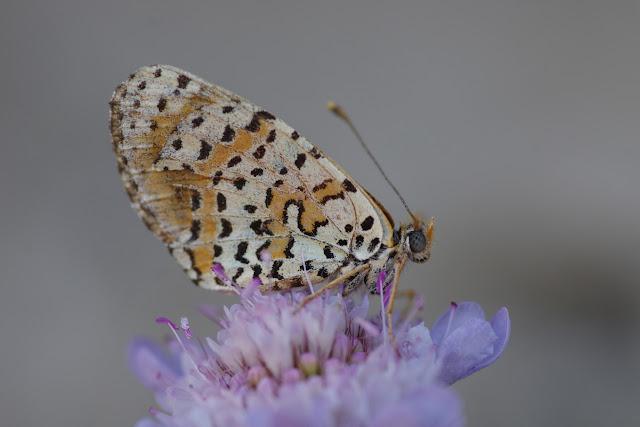 Melitaea didyma meridionalis Staudinger, 1870, mâle. Les Hautes-Courennes (550 m), Saint-Martin-de-Castillon (Vaucluse), 19 juin 2015. Photo : J.-M. Gayman