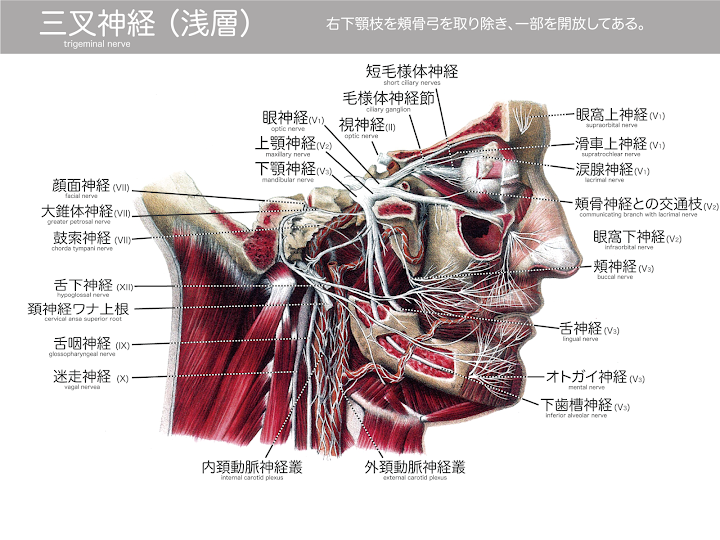 2014-31a_三叉神経01(浅層):Atlas-of-Human-Anatomy-and-Surgery-page-232.png