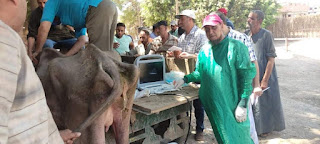 معهد التناسليات الحيوانية ينظم قافلة بيطرية مجانية لعلاج وفحص مواشي صغار المربين في محافظة المنوفية