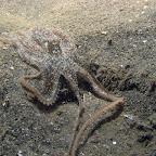 Octopus (Paradise Jetty, Manado)