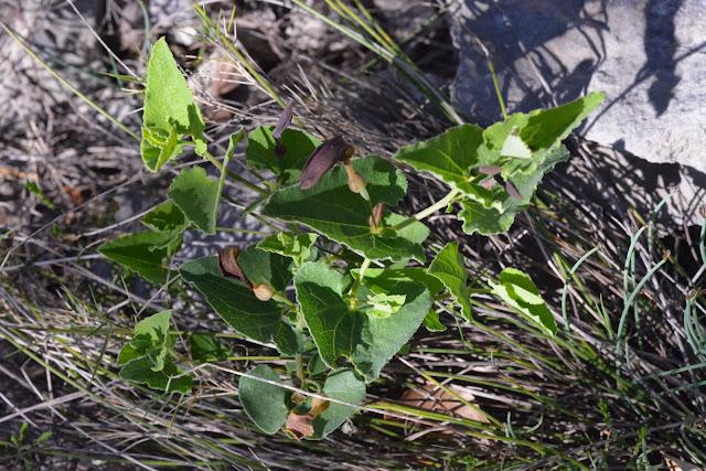 Aristoloche pistoloche (Aristolochia pistolochia L. 1763), PHL de Zerynthia rumina. Le Vigier, commune de Lagorce (Ardèche), 19 avril 2014. Photo : L. Voisin