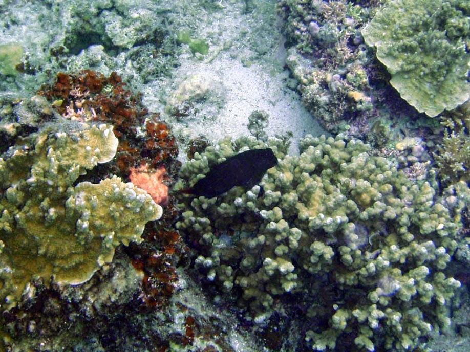 Ecsenius namiyei (Black Combtooth Blenny), Naigani Island, Fiji.