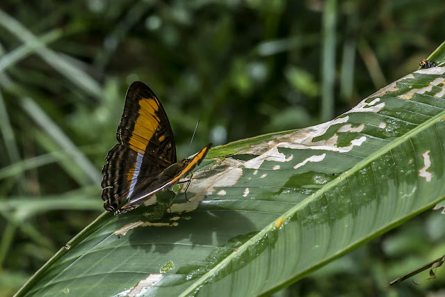 Adelpha plesaure pseudomalea A. Hall, 1938. Fundo Palmarito, 265 m (Casanare, Colombie), 8 novembre 2015. Photo : B. Lalanne-Cassou