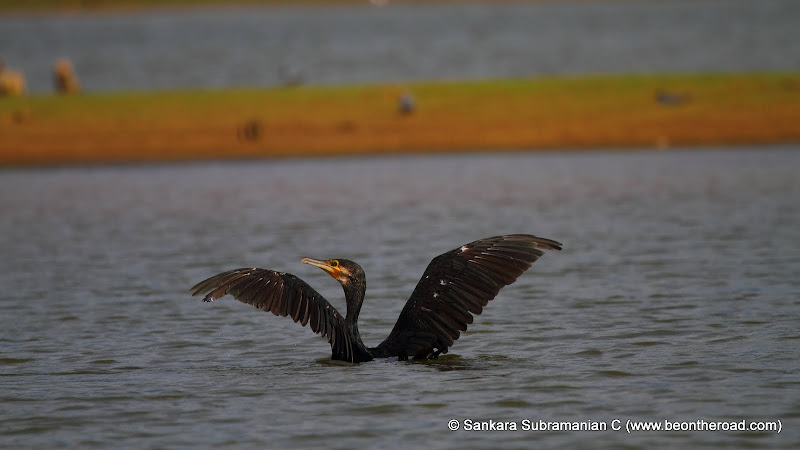 Great Cormorant enjoys its dip in the Kabini River