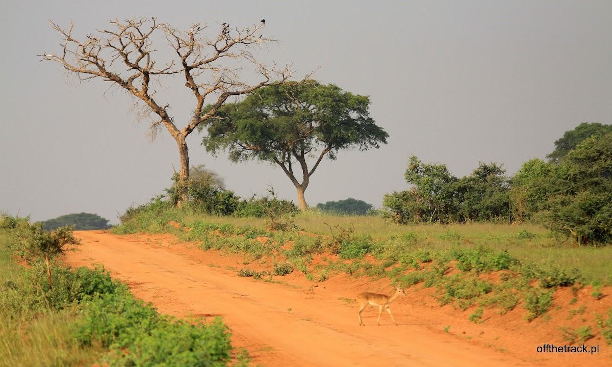 Drzewo przy drodze na sawannie, park narodowy Murchison Falls, Uganda