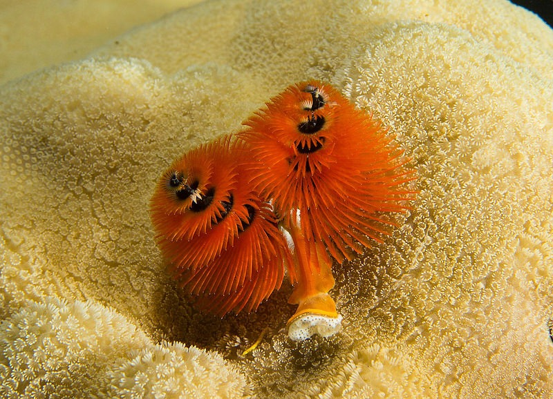 christmas-tree-worm-10