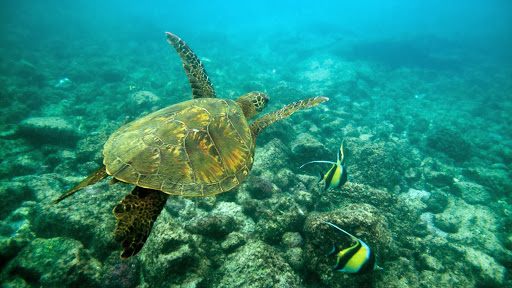 Green Sea Turtle, Big Island, Hawaii.jpg