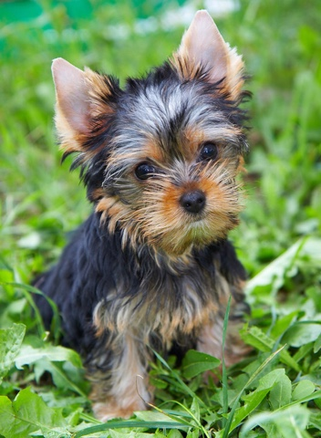 Dogs Blog 11 Yorkshire Terriers