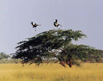 Black crowned crane. The International Crane Foundation