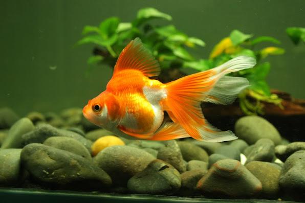 Cá vàng vẫn là loài cá cảnh dễ nuôi và quen thuộc nhất với dân chơi