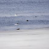 male Common Mergansers (white)