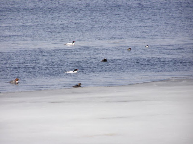 male Common Mergansers (white)