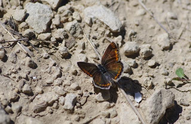 Polyommatus escheri (Hübner, 1823), ♀. Les Hautes-Courennes (500 m), Saint-Martin-de-Castillon (Vaucluse), 18 juin 2015. Photo : J.-M. Gayman