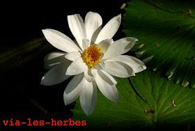 fleur de lotus 2.jpg