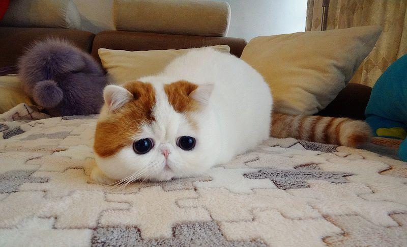Giống mèo Ba Tư mặt tịt lông ngắn