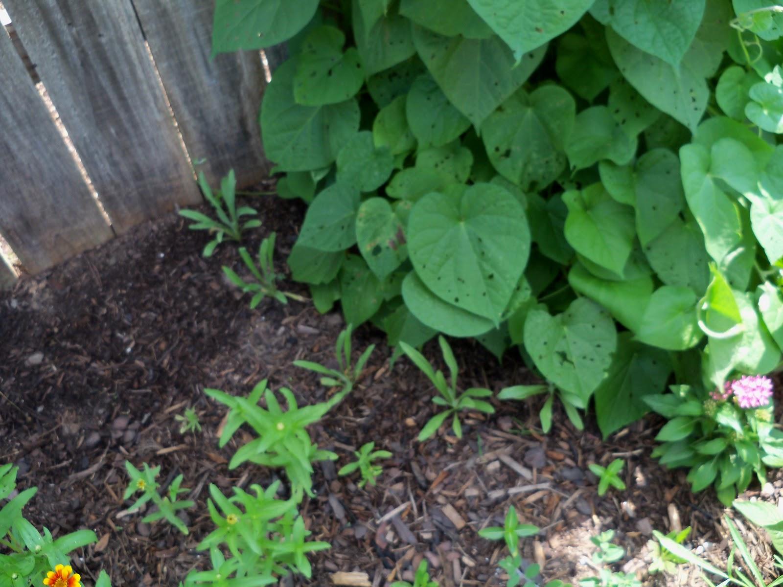 Gardening 2010, Part Two - 101_2676.JPG