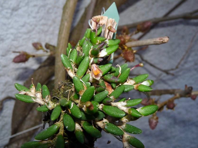Dendrobium lichenastrum P1370747