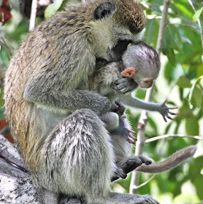 Vervet Mother and Baby 3, Botswana