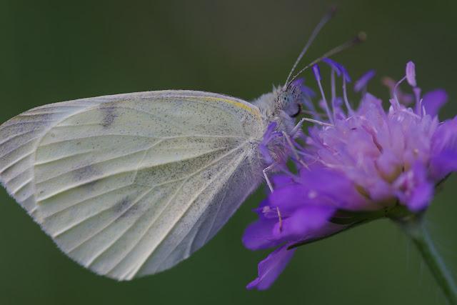 Pieris rapae (L., 1758), femelle. Les Hautes-Lisières (Rouvres, 28), 26 août 2012. Photo : J.-M. Gayman