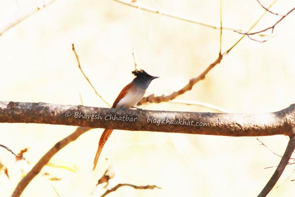 Asian Paradise Flycatcher [Adult Female] with brown, white and blue colors