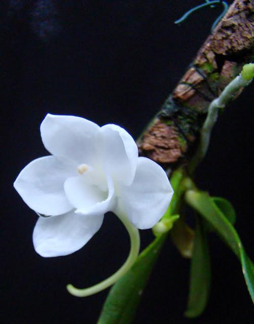 Amesiella monticola DSC03324