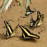 Eurytides serville serville GODART, 1824 et Papilio thoas cinyras MÉNÉTRIÉS, 1857. Rio Zongo (alt. 600 m). Bolivie, 27 janvier 2008. Photo : J. F. Christensen