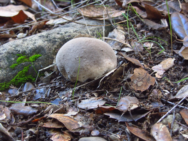 a rather large puffball