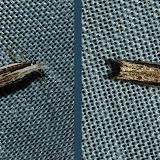 Gelechiidae : Macrenches clerica ROSENSTOCK, 1885. Umina Beach (N. S. W., Australie), 3 janvier 2012. Photo : Barbara Kedzierski