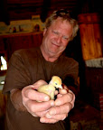 12 day old chicks are old enough to make it and thrive as long as they are protected and kept warm.