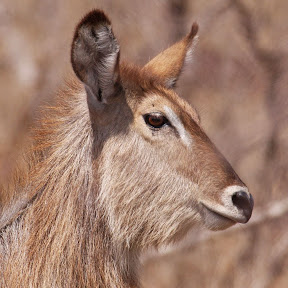 Waterbuck Female, Zambia