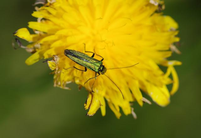 Probablement : Oedemeridae : Oedemera nobilis (SCOPOLI, 1763), femelle. Les Hautes-Lisières (Rouvres, 28), 17 juin 2012. Photo : J.-M. Gayman