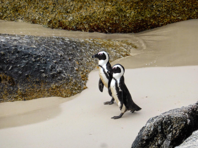 Een pinguin paar in Boulders Beach