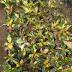 Jual Pohon Puring Murah | Jual Tanaman Puring | Jual Macam Macam Puring | Harga Tanaman Puring Terbaru