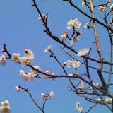 2009 薬師池公園の梅