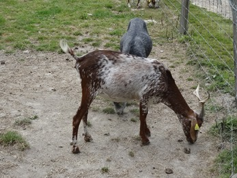 2018.07.19-014 chèvre du Rove