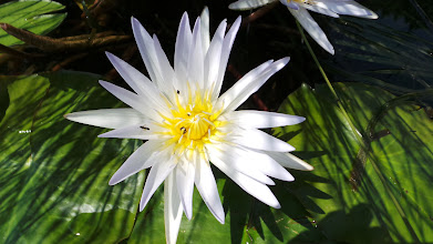 Photo: Water Lilly