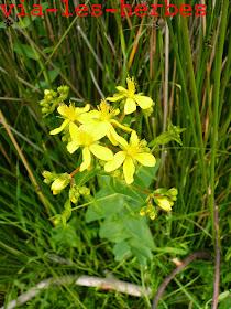 Millepertuis perfolie, hypericum perfoliatum .jpg