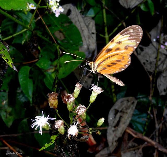 Mechanitis polymnia angustifascia TALBOT, 1928. Rio Teles Pires, município de Nova Canaã do Norte (Mato Grosso, Brésil), 11 juin 2011. Photo : Cidinha Rissi
