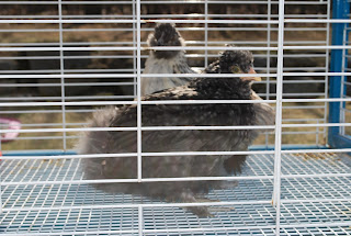 cute silkie chicks