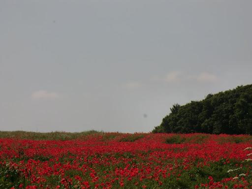 CIMG7510 Poppy field, Lullingstone