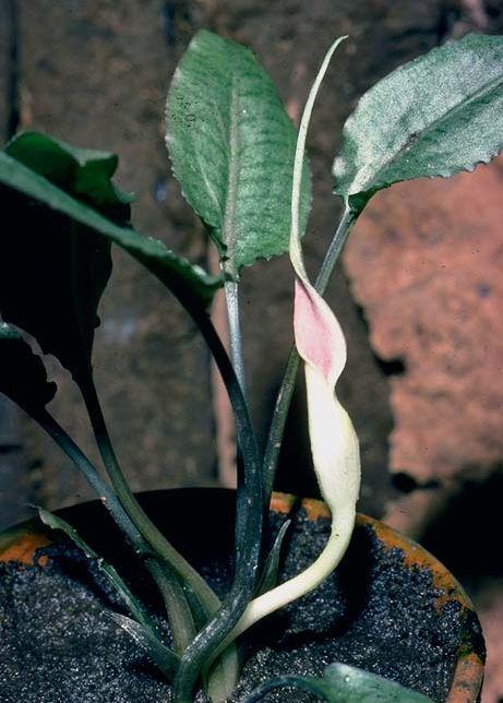 Криптокорина белая (Cryptocoryne alba)