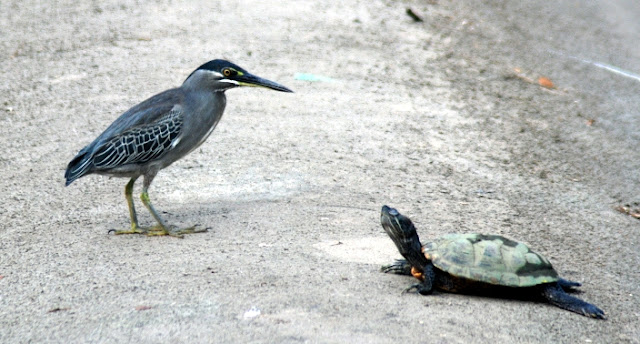Little Heron getting acquainted with a turtle, Pasir Ris canal.