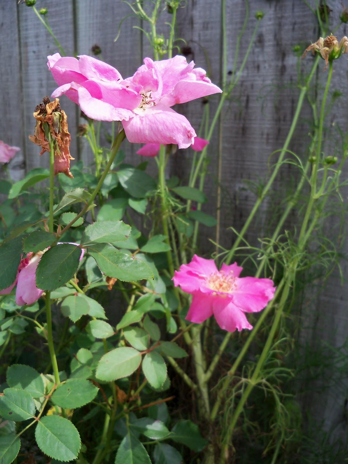 Gardening 2010, Part Three - 101_5183.JPG