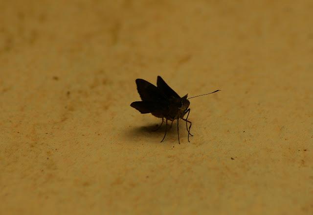 Hesperiidae. Caçandoca (Ubatuba, SP), 15 février 2011. Photo : J.-M. Gayman